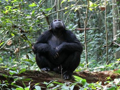 Chimpanse og skov i Tanzania