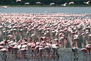 Flamingo i tanzania