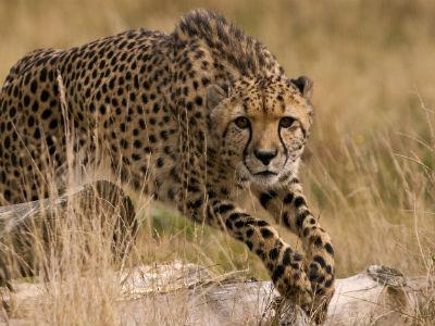 Gepard - the big nine
