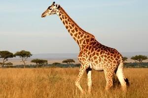 hvor meget vejer en giraf