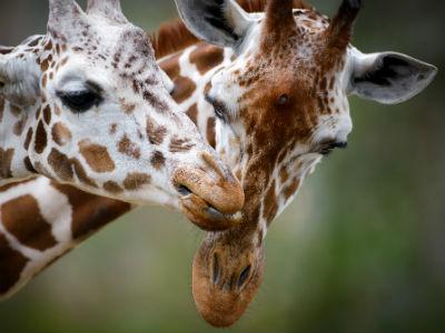 Giraffer - the big nine