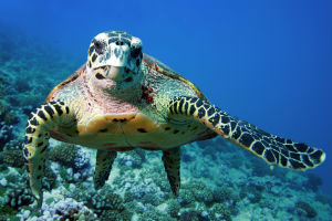 Havskildpadde i tanzania