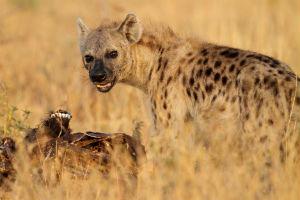 Hyæne - Afrika- Tanzania
