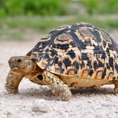 Leopard skildpadde - the small five