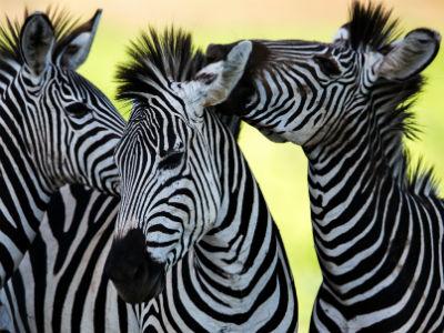 Zebra - the big nine