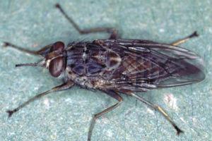 tsetse fluen i tanzania