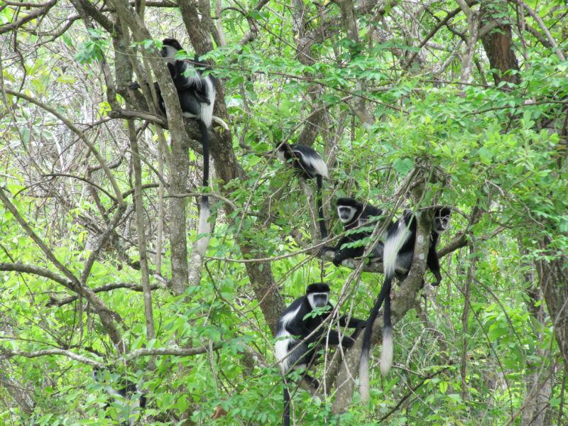 Colobuses aber i træerne på zanzibar
