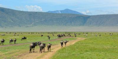 Gnuer i Ngorongoro