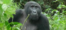 Bwindi skoven med gorilla i Uganda