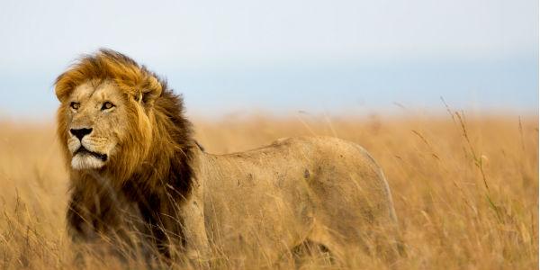 Løve på Serengeti sletten