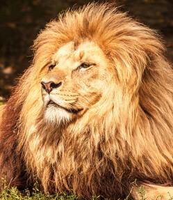 løve fakta