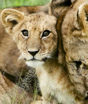 Løveunge med mor