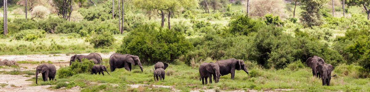 Elefanter i Tarangire