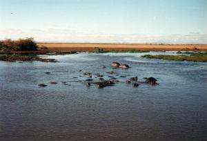 Flod heste i Manyara nationalpark