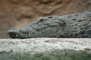 Krokodille i Tanzania i afrika