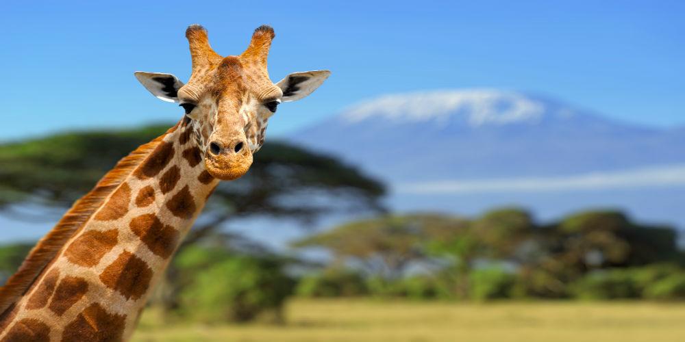 giraf kilimanjaro