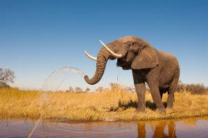 Elefant i Tanzania