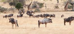 Savanne i Selous, tanzania