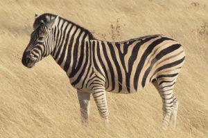 Zebra på savanne i Tanzania