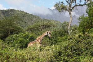 giraf arusha