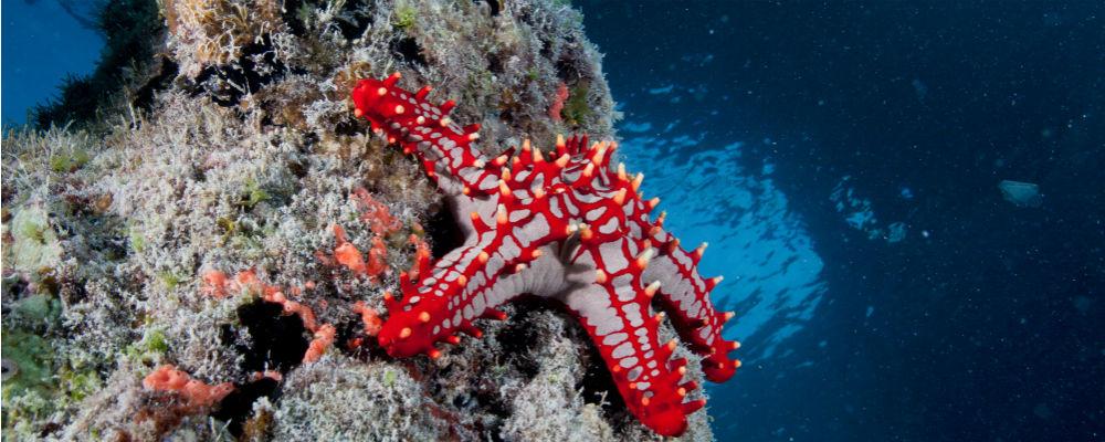 stjernefisk