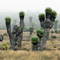 kilimanjaro endemisk