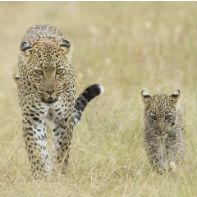 Tazania leopard