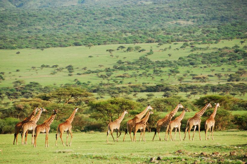 tanzania giraffer