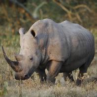 tanzania næsehorn