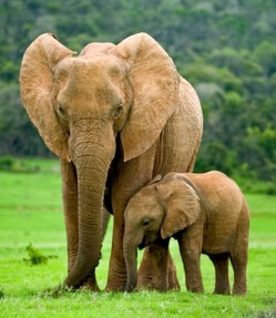 fakta om elefanter