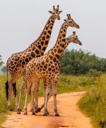 hvor høj er en giraf