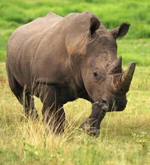 hvor lever næsehorn