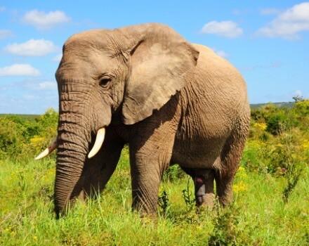 elefant mad