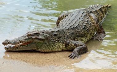 fakta om krokodiller