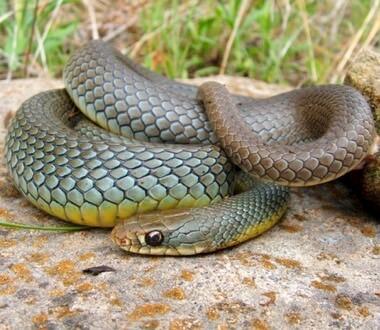 verdens hurtigste slange