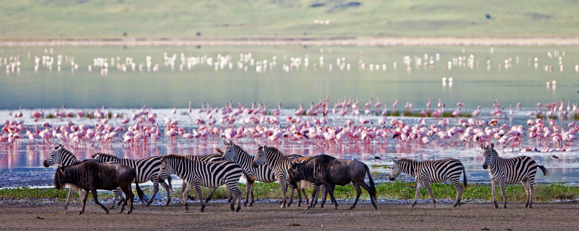 Zebra-tanzania