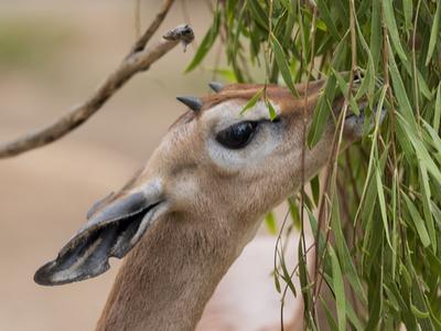 Gerenuk spiser