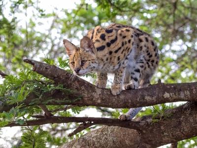 Serval i træ