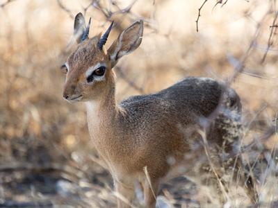 Stående dik dik antilope