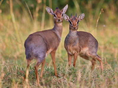 To dik dik antiloper