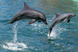 Delfiner ud for zanzibars kyst