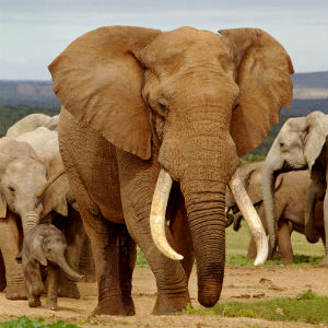 Elefant - The Big Five