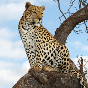 Leopard - The Big Five