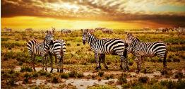 serengeti zebraer