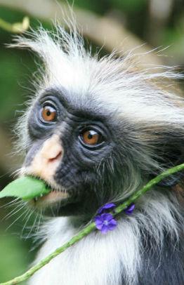 Colobus abe på Zanzibar og blomst