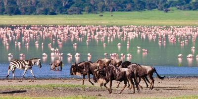 Flamingo zebra gnu i NCA