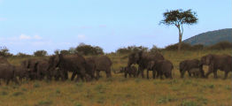 Elefanter paa savannen i Kenya
