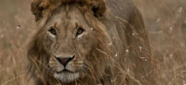 Løve på savannen i Tanzania