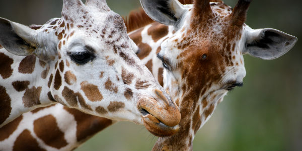 Giraffer på safari i Tanzania
