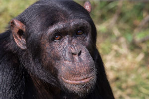 Chimpanse i Gombe nationalpark